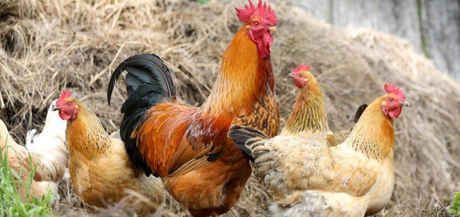 chickens-2522623_1920